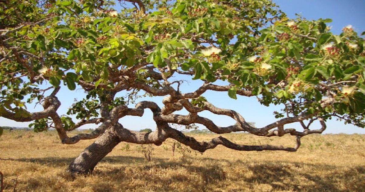Por que as árvores do Cerrado são tortas?